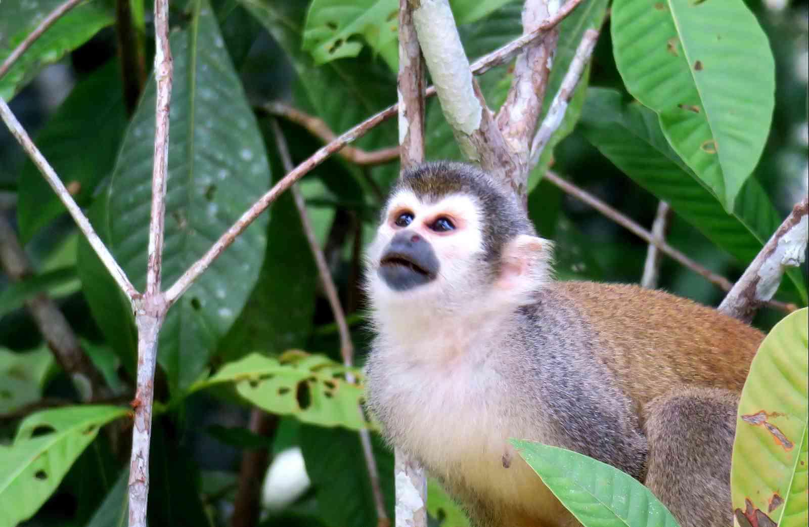 mono barizo cuyabeno
