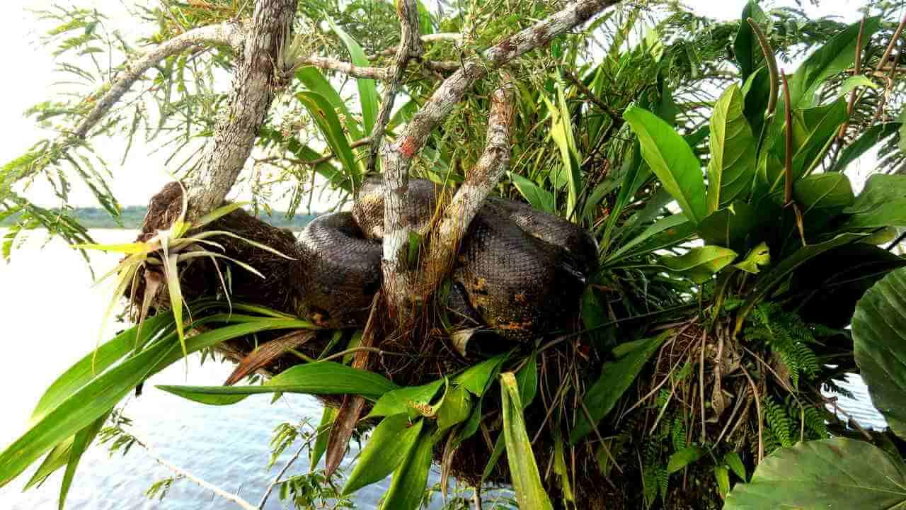 giant anaconda cuyabeno ecuador