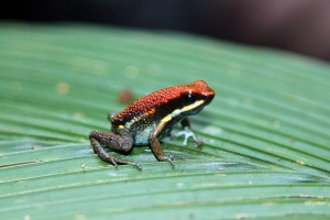 Frog, Cuyabeno, Ecuador
