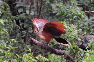 Hoatzin, Cuyabeno, Ecuador