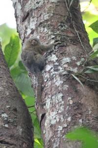 Pigmy marmoset Cuyabeno, Ecuador