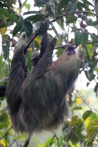 Sloth, Cuyabeno, Ecuador