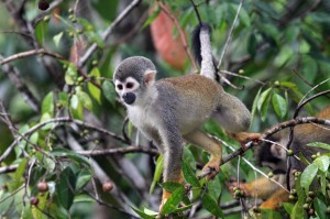 Squirrel monkey, Cuyabeno, Ecuador