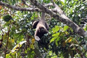 Wooly monkey, Cuyabeno, Ecuador