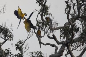 Aras, Cuyabeno, Ecuador