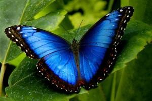 Morpho butterfly, Cuyabeno, Ecuador