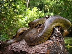 Anaconda, Cuyabeno, Ecuador