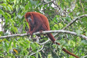 RED-HOWLER-599x403